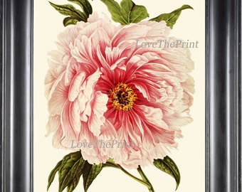 Peony Print 1 Botanical Flower  Art Beautiful Antique Large White Pink Coral Spring Plant Illustration to Frame Home Room Wall Decor