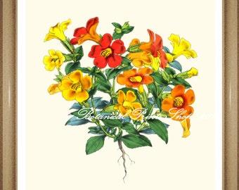 "Botanical Prints. Floral Prints. Mimulus. Orange Flower Print. 8x10"""