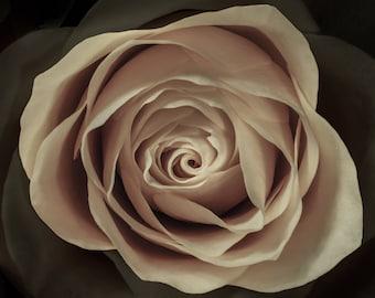 Yellow Tea Rose