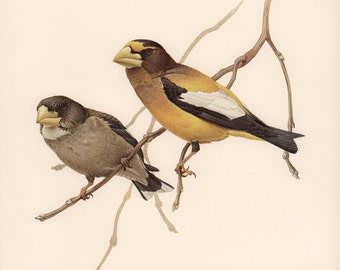 Image result for evening grosbeak art