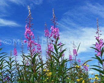 Landscape Oregon Nature Blue Sky Wildflowers Fireweed Pink Purple Daisies Yellow, Fine Art Photography matted & signed Original Photograph