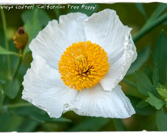 Romneya coulteri 'Californian Tree Poppy' 100 SEEDS