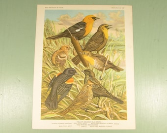 Bird Portrait Print - Vintage Blackbird