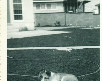 1940s Collie Dog Laying Outside Yard Spring Snow 40s Vintage Photograph Black White Photo