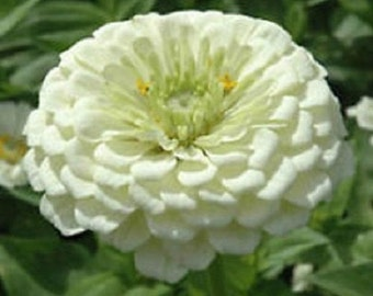 50+ White Colored Zinnia / Annual Flower Seeds