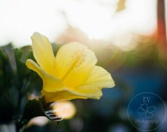 Yellow Hibiscus 8x10 Print