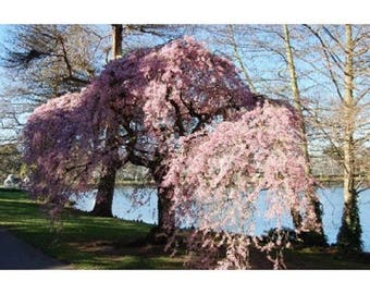 10 Weeping Higan Cherry Tree Seeds, Prunus subhirtella pendula