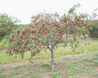 Cherry Tree Cherries Orchard Fruit Food Door County Wisconsin Art Photography Kitchen Decor 8x12 Photo