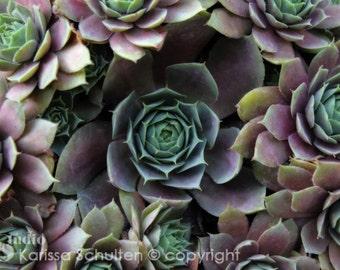 Botanical Print, Nature Photography, Chicks and Hens, Botanical Closeup, Macro, Botanical, Garden Art, Green, Purple and Green