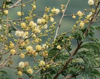 Vachellia Leucophloea (Acacia) / Remja - 7 seeds