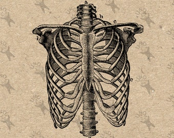 Vintage image Human Anatomical Thorax Chest Retro drawing picture Instant Download printable clipart Black and White digital graphic  300dpi