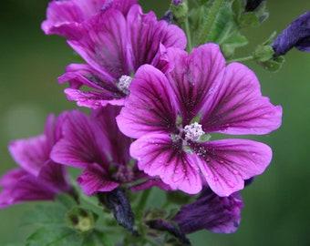 150 Hollyhock Flower Seed (L)