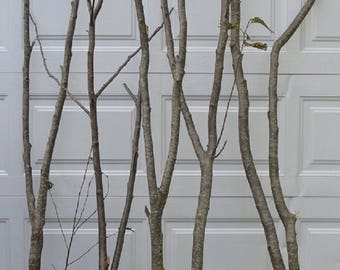 Alder Forked Limbs    5-  3' to 4' tall