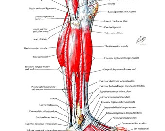 Anatomy Print - Muscles of  the Leg - Human Anatomy - 1989 Vintage Book Page - 12 x 9