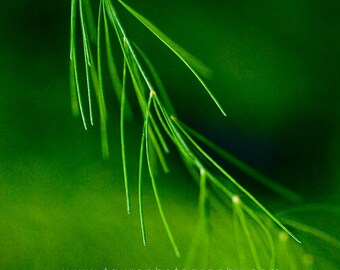 Asparagus Fern No. 3