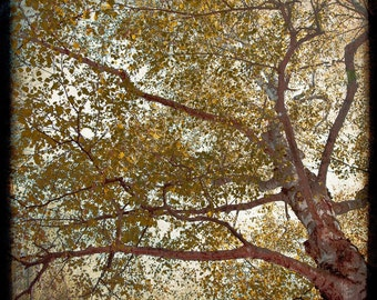Tree Gold Brown Photograph--The Birch Tree Out My Window--TTV Fine Art