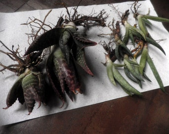 Aloe Vera Plants, Ready to plant, organically grown succulents, healing properties