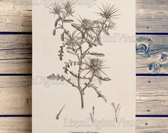 Vintage print, Botanical art print, Star thistle, Thistle print, Wall art, Instant download printable print, Floral print, 8x10, 11x14