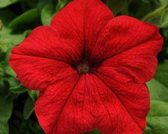 Red Petunia  MARICA F1 seeds/ MARIKA F1 seeds