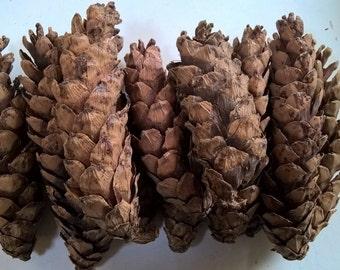 Sugar Pine Cones - Natural Color - Winter  Decoration - LARGE!