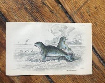 c. 1833 ANTIQUE SEAL ENGRAVING - original antique sealife print - Jardine animal print - marine mammal print - the common seal print