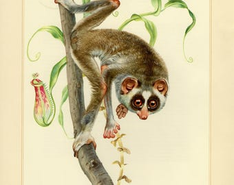 Vintage lithograph of the red slender loris from 1956