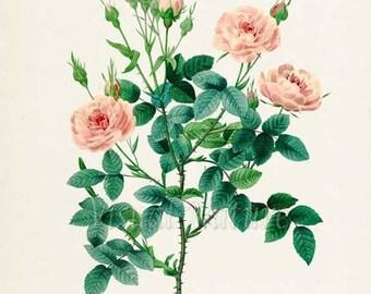 Pompon Rose Flower Art Print, De Meaux Rose Botanical Art Print, Flower Wall Art, Flower Print, Floral, Redoute Art, pink, Rosa pomponia
