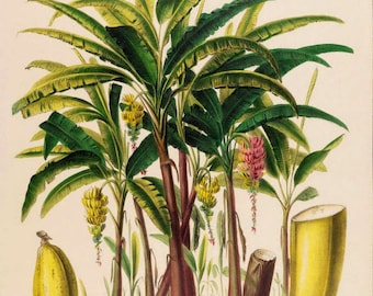 antique french botanical print banana tree and fruit illustration digital download