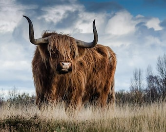 Highland cattle. Long hair cow. Highland bull. Animal poster. Nature photography. Instant download, poster nature, nature photo