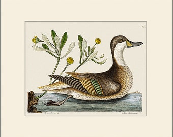 Bird Print, Ilatheria Duck, Catesby, Art Print with Mat, Note Card, Natural History Illustration, Wall Art, Wall Decor, Vintage Bird Print