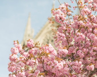 Paris Spring Photography -  Pink Cherry Blossoms at Notre Dame,  Large Wall Art, French Home Decor