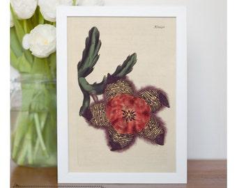 "Vintage illustration of Soft - Grass - Cushioned Stapelia - framed fine art print, flower art, 8""x10"" ; 11""x14"", FREE SHIPPING - 126"