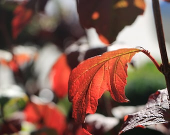 Fall Leaves//Colors in Santa Cruz//Wall Art//Oranges and Reds//Art and Collectibles