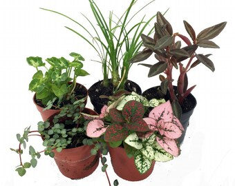 "Terrarium & Fairy Garden Plants - 5 Plants- Assorted Varieties in 2"" Pots"