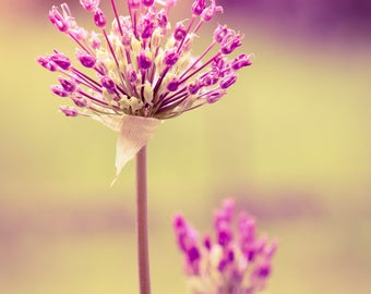 Blooming allium purple abstract shot downloadable digital art print