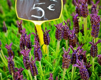 Lavande For Sale,Fine Art Photography,Paris,France,multiple sizes available-parisian,flowers, floral, purple,nature,for sale,herb,lavender