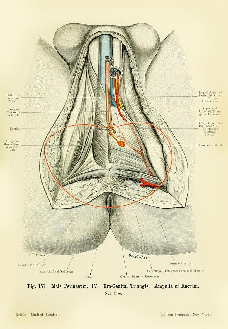 Menschliche Anatomie Vintage Print-menschlichen männlichen