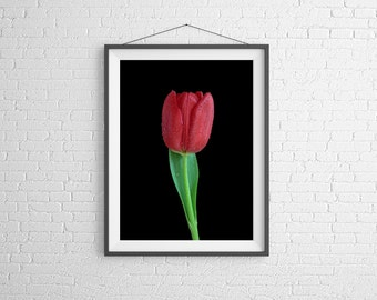 Fine Art Photography Print - Flower, Nature, Studio - Red Tulip with Dew