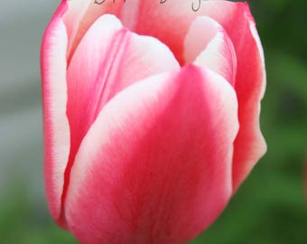 Pink Tulip Flowers, Digital Download, Nature Photography, Flower Photography  Wall Art Decor, Nature Print, Home Decor