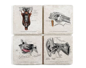 Medical Illustration Coasters, Ear Nose and Throat Doctor, Set of 4, Human Anatomy, Otorhinolaryngology