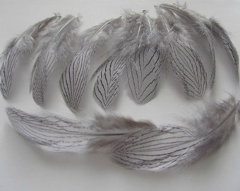 Silver Pheasant Feathers -  Grey