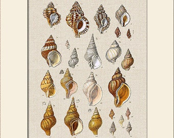 Sea Shell Print, Plate 18, George Sowerby, Art Print with Mat, Note Card, Natural History Illustration, Wall Art, Nautical Art, Costal Decor