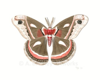 "Moth Art Print - Archival Fine Art Reproduction of Original Cecropia Moth Illustration, Red and Brown Moth Print; Butterfly Art 8.5"" X 11"""