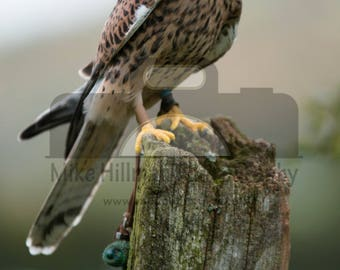 """Mounted Photographic Display Print - Kestrel #2 (A4 print in 14"""" x 11"""" Mount, Unframed)"""