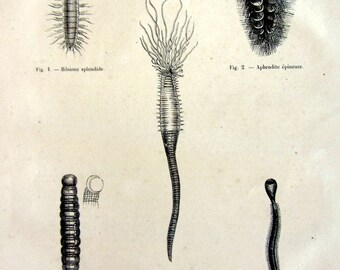 1860 Antique bristle worms print, vintage annelids engraving, zoology  invertebrates plate, oddity  sand mason worm  illustration.