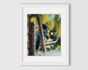 Jungle Blue   Blue Jay, Nature Photography, Gifts Under 25