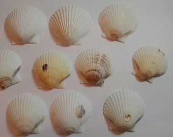 White Scallop Shells - From Crystal River, FLorida - Freshly Caught - Shells - Seashells - White Seashells - 10 Natural Shells  #145