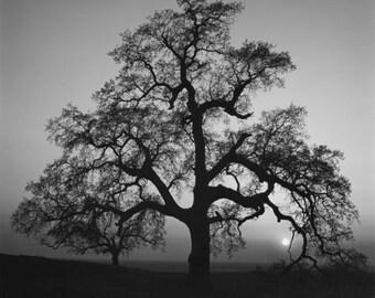 Ansel Adams, original, Oak Tree, Sunset City, Sierra Foothills, 1962, black & white, fine art picture print poster, canvas available