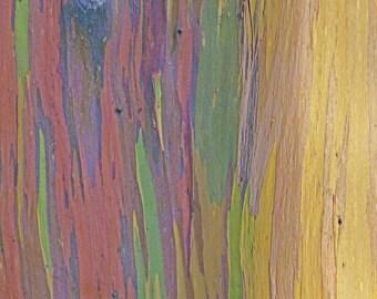 Rainbow Eucalyptus/Eucalyptus deglupta/Bonsai SEEDS/ Maui Rainbow Eucalyptus/Tree Seeds/Ornamental Trees/Hawaii Trees/Eucalyptus/Rare Seeds