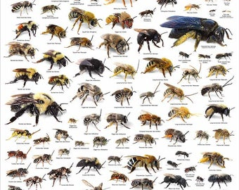 Backyard Bees Poster